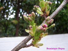 "Mon Cerisier du Japon ""Prunus Serrulata Amanogawa"""