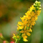 Divozel veľkokvetý je skutočným pomocníkom, počas mnohých zdravotných problémov, určite ho majte doma... Divozel je liečivá bylina, ktorá je účinná hlavne na...
