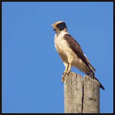Herpetotheres cachinnans; Acauã; Laughing Falcon - Pesquisa Google