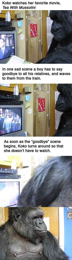 Koko the gorilla responds to a sad moment in her favorite film.