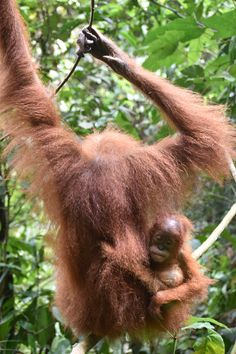 Orang Utan, Location, Animals, Indonesia, Round Trip, National Forest, Things To Do, Travel Destinations, Animales