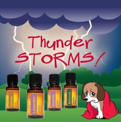 Thunderstorms can be scary for pets (frequently dogs)! Apply a dab of Lavender essential oils on your hands and transfer to the collar and ear area. Effective for cats, too. Other options include the 'calming blend,' Vetiver or the 'grounding blend. Essential Oils Dogs, Calming Essential Oils, Vetiver Essential Oil, Essential Oil Uses, Young Living Essential Oils, Shih Tzus, Oils For Dogs, Dog Anxiety, Young Living Oils
