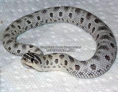 Anerythristic Anaconda Hognose Snake