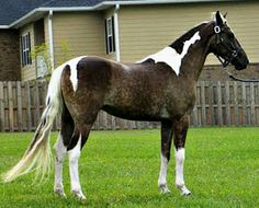 cc Silver dapple tobiano Tennessee Walking Horse mare, Frilly Lily.