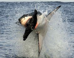South Africa great whites breaching- amazing!