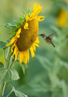 **Perfect pic for my mom and grandma..she loves sunflowers,and gma loves hummingbird * *