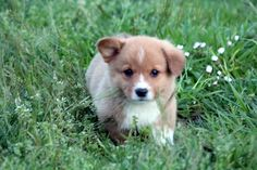 This is Hansel I get to pick him up in a week! Welsh Corgi pup http://ift.tt/2nv1geU
