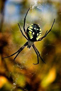 Can Tarantulas Spin Webs   Yellow Garden Spider