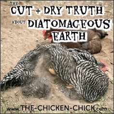 The Cut & Dry Truth about Diatomaceous Earth DE & Chickens Chicken Care, Chicken Topics, Health & Se Chicken Bird, Chicken Garden, Chicken Chick, Backyard Chicken Coops, Diy Chicken Coop, Chickens Backyard, Chicken Lady, Chicken Ideas, Backyard Ducks