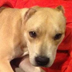 Tia is an adoptable Pit Bull Terrier Dog in Temple, TX. I'm Tia! I'm approximately 2 year old pit/lab mix. You could see the lab a lot better when I had cute floppy ears, but sadly my person decided t...