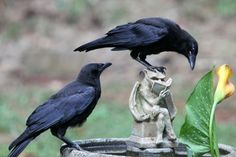"tombe-d-eau: "" @iheartcrows @nothingbutcrows I took this photo today of these two crows sipping some water out of my bird bath. I'm in Atlanta, GA. Thought you'd enjoy it. :) "" And not just crows, but..."