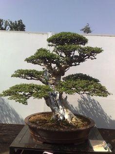 Bonsai shows en tentoonstellingen voor 2011 - Bonsai Empire