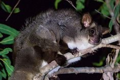 Greater glider habitat illegally cleared by grazier, department finds Save Planet Earth, Save The Planet, Australian Birds, Gliders, Mammals, Habitats, Kangaroo, Wildlife, Flora