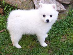 5 Consejos para comprar un perro American Eskimo