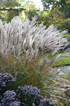 Silver Grass 'Ferner Osten' • Miscanthus sinensis 'Ferner Osten' • Morning Light 'Ferner Osten' • Plants & Flowers • 99Roots.com
