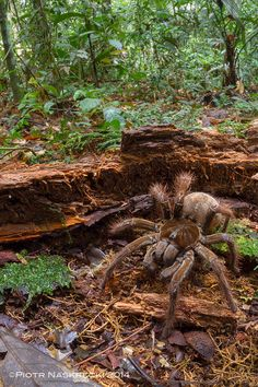 South American Goliath birdeater (Theraphosa blondi)