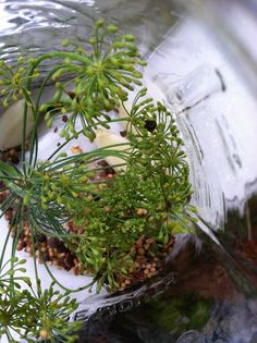 No canning skills needed Dill pickle recipe