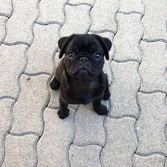 """13.4 ezer kedvelés, 165 hozzászólás – Pugs (@pugs) Instagram-hozzászólása: """"This is my """"carry me"""" face """""""
