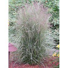 Calamagrostis 'Overdam' - ornamental grass