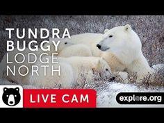 Tundra Buggy Lodge - North - Polar Bears - explore