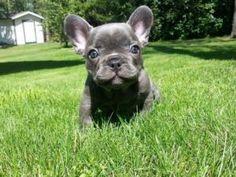 Blue Chocolate  Silver French Bulldog