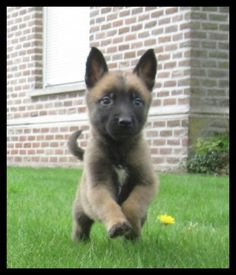 Berger Malinois, Belgian Malinois Puppies, Belgian Shepherd, German Shepherd Dogs, Belgium Malinois, Dog Soldiers, Easiest Dogs To Train, Schaefer, Winter Scenes
