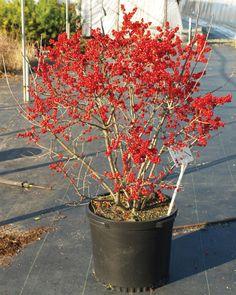 Winterberry, Berry Poppins Illex verticillata. Dwarf variety 3'-4' Heavier fruiting than 'Red Sprite' Needs male pollinator, 'Mr. Poppins'