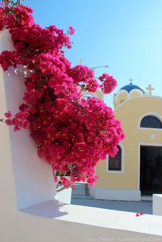 Greece Travel Inspiration - Gorgeous flowers outside a church Santorini, Greece