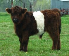 Miniature Breeds Of Cattle That Are Perfect For Small Farms Farm Animals, Animals And Pets, Cute Animals, Belgian Blue Cattle, Galloway Cattle, Belted Cow, Fluffy Cows, Beef Cattle, Small Farm
