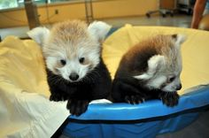 How adorable are these Red Panda cubs from South Dakota's Great Plains Zoo and Delbridge Museum of Natural History?! (via ZooBorns)