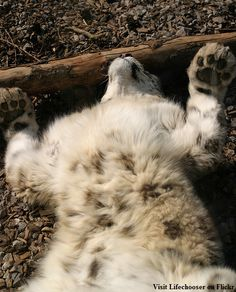 Just being a snow leopard.