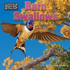 In this book, young readers will learn about barn swallows and their winter habits.