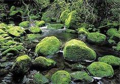 Moss on river rocks, Te Urewera