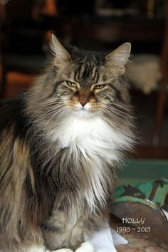 "From John: ""This was Holly, my beauty girl. She crossed the rainbow bridge in September of 2015, having spent 20 years and 3 months with me, almost a quarter of my life."" In March, we are celebrating long hair cats. www.catfaeries.com - Products for good behavior & health for the modern housecat."