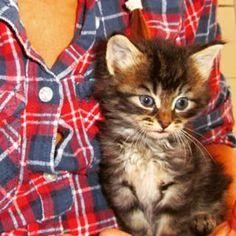 #farmer #cat #kitten #sittingonlap #cutiepie #kittensfarm Kittens, Cats, Farmer, Photo And Video, Animals, Instagram, Cute Kittens, Gatos, Animales