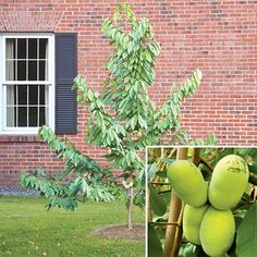 Paw Paw Set (Asimina triloba) The largest of the Native American fruits, the Paw Paw is one of the easiest to cultivate. The tree size is modest and does well in partial shade. Spring brings purple flowers that transform to clusters