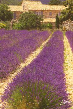 Lavender Postcard (Provence, France)
