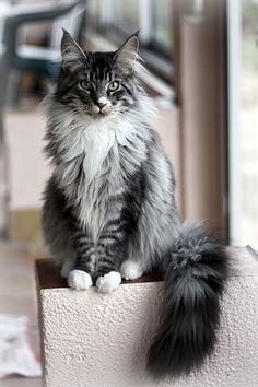 Black Silver Mackerel Tabby White Maine Coon