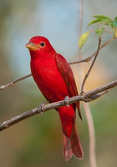 Summer Tanager is a medium-sized American songbird. Formerly placed in the tanager family, it and other members of its genus are now classified in the cardinal family