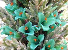 The Turquoise Puya grows in soil, and can be treated much like a cactus or succulent. It is hardy in zones Mature plants are said to survive temperatures down to degrees F if kept relatively dry. Always wanted a plant with green flowers! Unusual Plants, Rare Plants, Exotic Plants, Cool Plants, Rare Flowers, Exotic Flowers, Amazing Flowers, Beautiful Flowers, Alpine Flowers