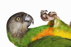 Senegal Parrots Pets Profile
