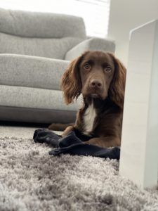 7 Puppy Training Games to Keep Your Dog Entertained - Modern Games For Puppies, Puppies Tips, Dogs And Puppies, Doggies, Sprocker Spaniel Puppies, Cocker Spaniel, New Puppy, Puppy Love, Puppy Stages