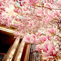 tulip magnolias~ my momma had one of these in the front yard of the house I grew up in :)