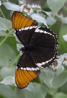 ~~Rusty-tipped Page (Siproeta epaphus), also known as the Brown Siproeta, New World Butterfly by Cindy Dyer~~