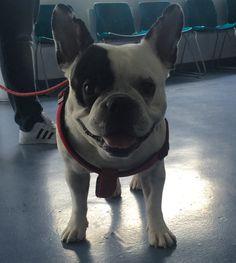 TORO vino ayer a la clínica para aplicar los recordatorios correspondientes a este mes de su plan de salud. Como veis está haciendo honor a su nombre, ya prácticamente no nos acordamos de su cirugía de columna!!.