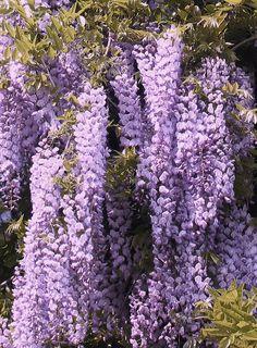 atmosphere: wisteria