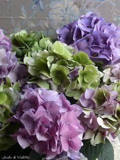 Rare Hydrangea | antique hydrangea | plum/purple/lavender flowers | Pinterest