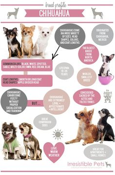 Chihuahuas are the world's smallest breed of dog.Here are ten tips to help you take care of your Chihuahua. 10 Tips for Chihuahua Parents. Merle Chihuahua, Baby Chihuahua, Teacup Chihuahua, Chihuahua Breeds, Chihuahua Facts, Dog Breeds, Chien Cane Corso, I Love Dogs, Cute Dogs