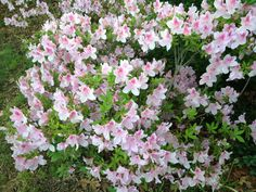 White and pink azaleas (? Girly, Flowers, Plants, Pink, Beautiful, Women's, Girly Girl, Plant, Royal Icing Flowers