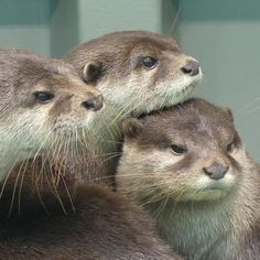 Cute Creatures, Beautiful Creatures, Otter Tattoo, Otters Cute, Animals Of The World, Squirrels, Adorable Animals, Big Cats, Rabbits